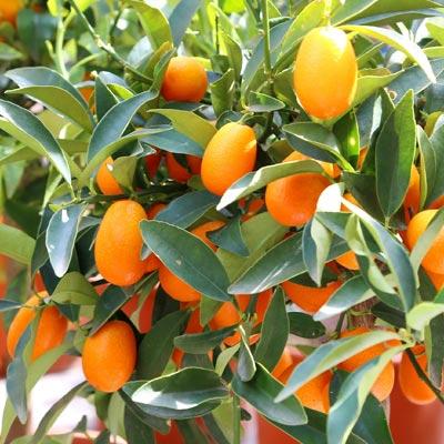 Kumquat Kumquats Feuillage vert persistant