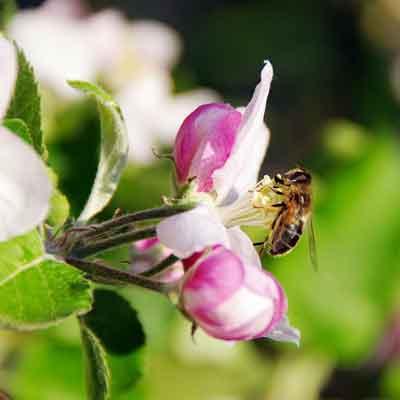fleur pommier abeille