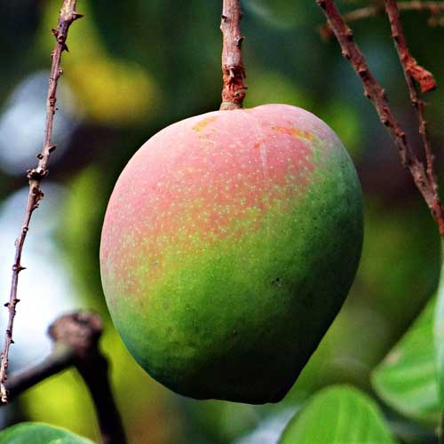 manguier fruit
