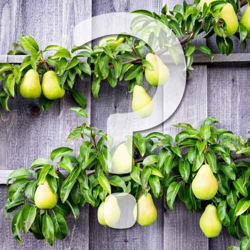 comment réaliser le palissage des fruitiers?