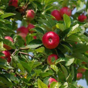 pommes et récoltes