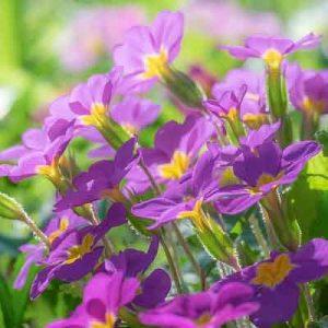 primevères fleurs