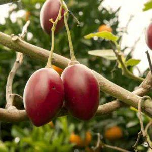 tamarillo fruits
