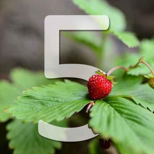 5 variétés de fraisier des bois