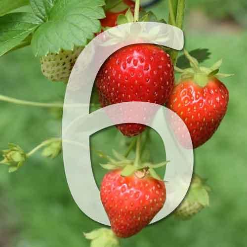 6 variétés de fraisiers non remontants
