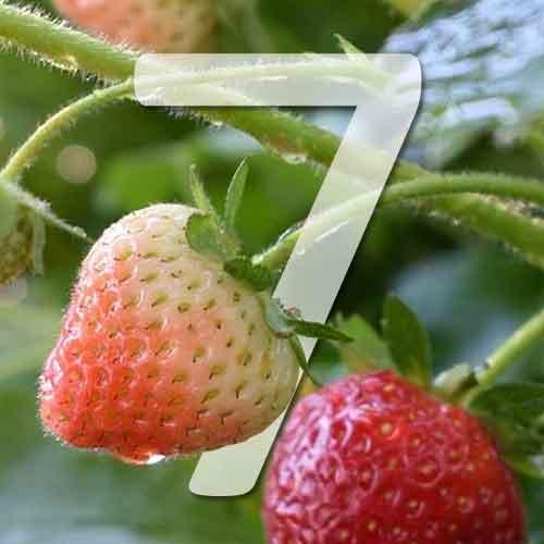 7 varietés de fraisiers remontants