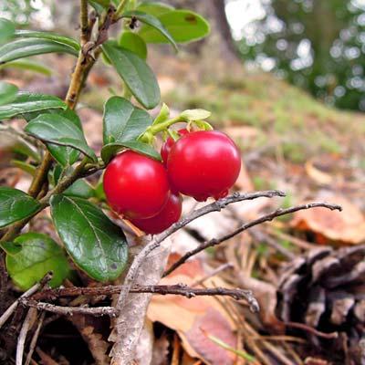Canneberge Airelles Bois Forêt