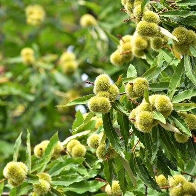 Châtaignier Châtaignes Printemps été Feuillage vert caduc Fruitier Fruits secs