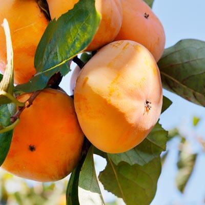 Plaqueminier Kaki Fruits oranges Ciel bleu Feuillage vert