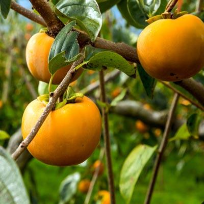 plaqueminier kaki Branches Feuillages Fruits orangés asiatiques