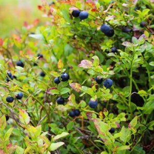 Myrtillier Myrtilles Arbuste fruitier Feuillage