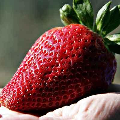 fraise récoltée
