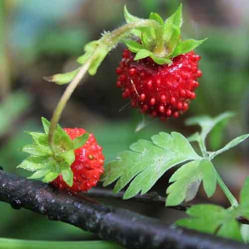 fraisier des bois focus