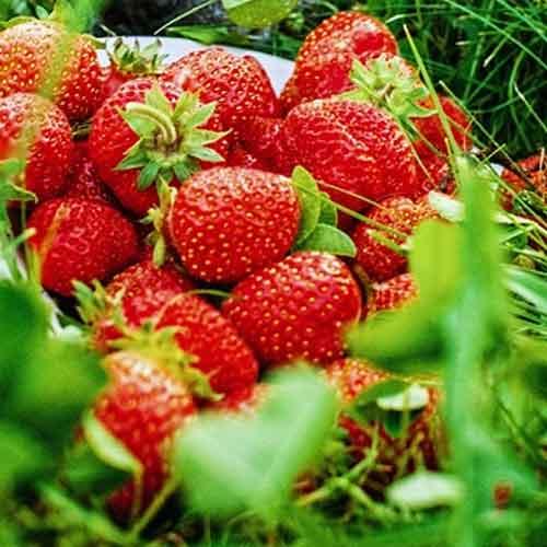 fraisier non remontant focus
