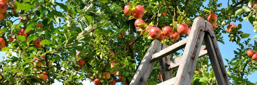 Quelle hauteur pour un arbre fruitier ?