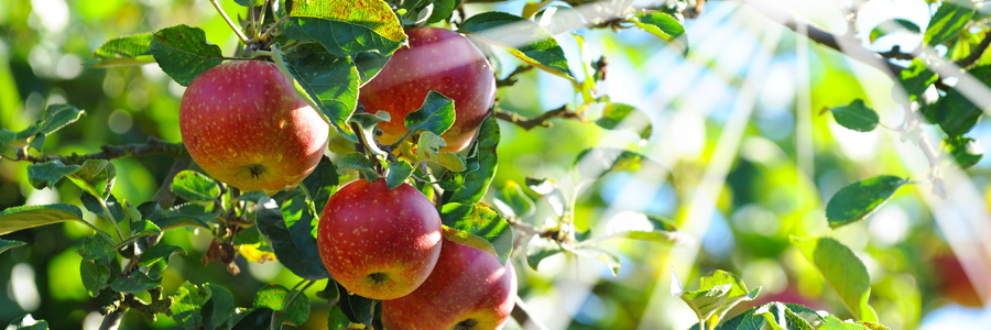 Quel arbre fruitier planter quand on est débutant ?