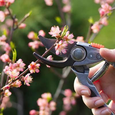 Quand tailler et entretenir les arbres fruitiers ?