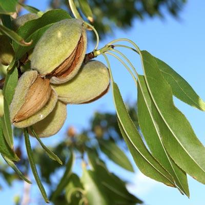 Amandier Prunus dulcis Amandes Fruits à coques Feuillage vert Ciel bleu