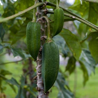 Babaco Carica pentagona Fruits tropicaux Arbre fruitier Fruits verts Feuillage
