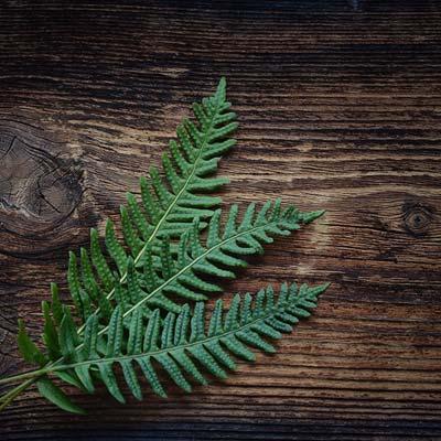 Fougère feuillage vert Table en bois foncé