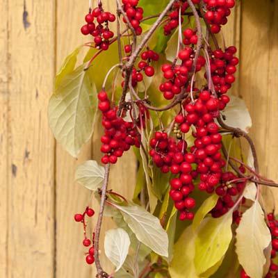 Schisandraceae Schisandra de Chine Liane Feuillage caduc Fruits Baies aux cinq saveurs Fruit de la vitalité