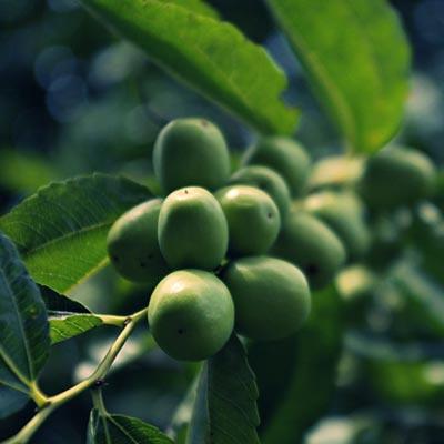 Jujubier Dattier chinois Rhamnacées Fruitier Feuillage vert jujubes pas mûres