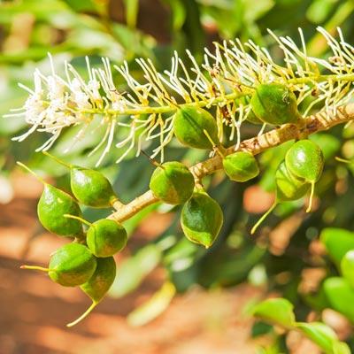 Macadamia Macadamier Noyer du Queesland Noix de Macadamia Fleur blanche Fruits