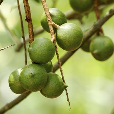 Macadamia Noix de Macadamia Fruitier Fruits à coque Branches