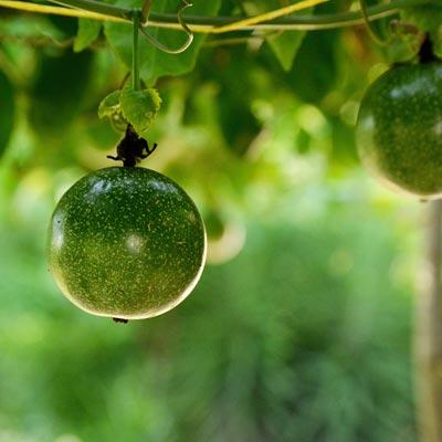 Fruits de la passion Fruitier exotique Fruit exotique Passiflora