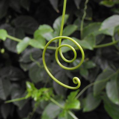 Passiflore Pasiflora Pasifloracées Grenadille Liane Tige Feuillage vert