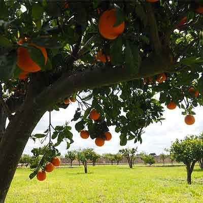 arbre-fruitier-climat-mediterraneen