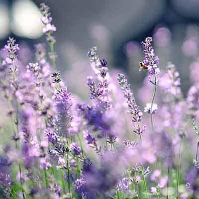 zoom fleur lavande