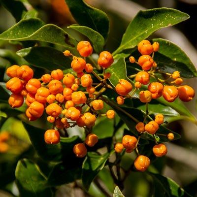 Pittosporaceae Pittosporum Baies oranges Feuillage vert persistant