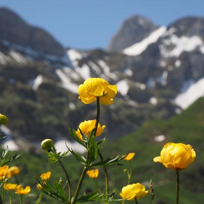 Trolle Trollius Montagne Herbe Plante vivace Herbacées Fleurs jaunes