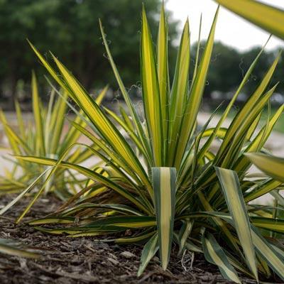 Yucca Feuillage bicolore
